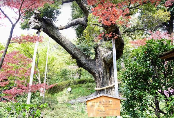 椿山荘の庭園 ご神木