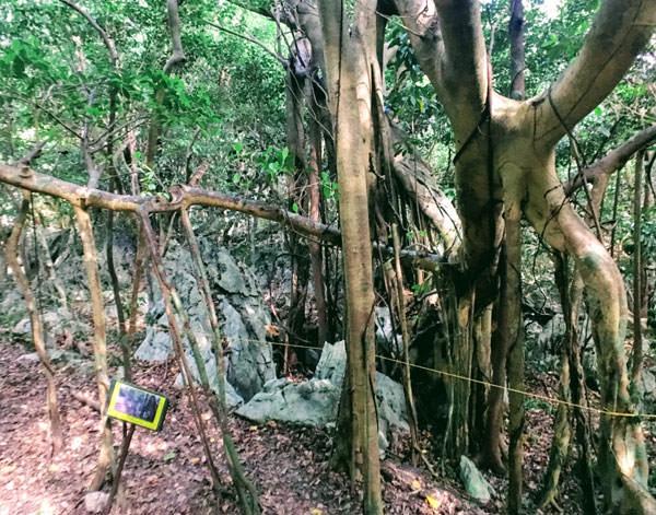 大石林山「子くぐりガジュマル」