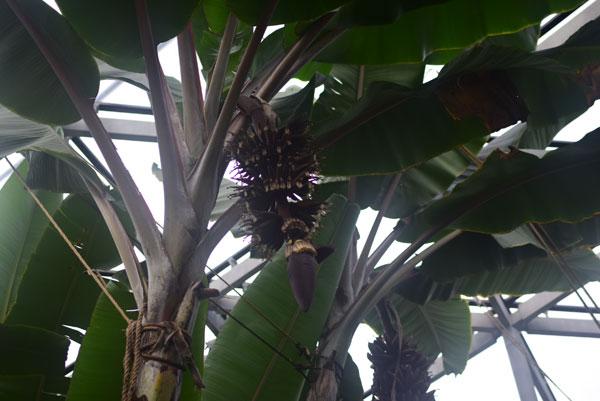 新宿御苑のアカバナナ