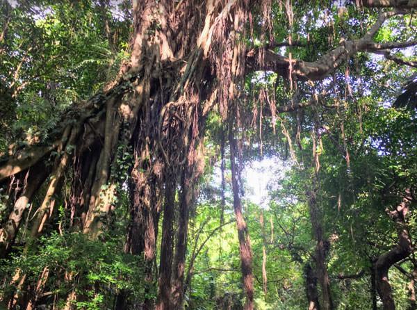 ガンガラーの谷のガジュマルの木の下