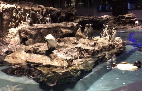 陸地でくつろぐすみだ水族館のペンギンたち