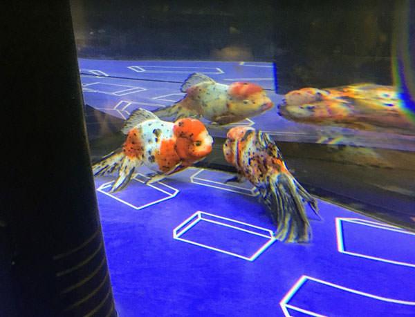 すみだ水族館のアズマニシキ
