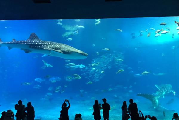 美ら海水族館 ジンベエザメが泳ぐ「黒潮の海」