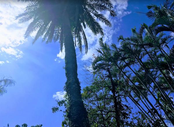東南植物楽園 ナツメヤシ