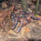 西表島 ジャングルナイトツアーに参加してヤシガニを見つけてきた
